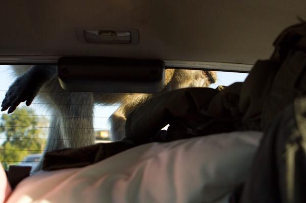Um dos 3 babuínos que subiram no carro no Kruger Park, África do Sul! Medo mas bom d+!!!